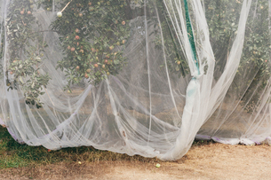 Protective mesh fabric covering apple trees bearing young fruit in summer in a commercial orchard. Pの写真素材 [FYI02265453]