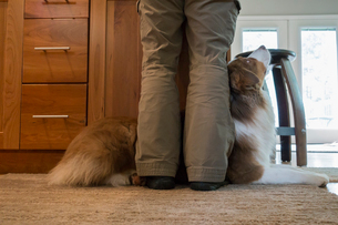 Closeup of an Australian Shephard laying at the feet of his owner.の写真素材 [FYI02265480]