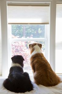 Two male Australian Shepherd dogs sitting at a window looking out, rear view.の写真素材 [FYI02265509]