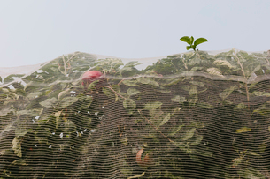 Protective mesh fabric covering apple trees bearing young fruit in summer in a commercial orchard. Pの写真素材 [FYI02265535]