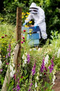 Beekeeper wearing protective suit at work, inspecting wooden beehive.の写真素材 [FYI02265543]
