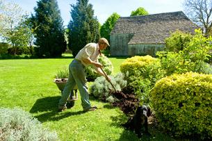 A man gardening, using a fork to add mulch and fertiliser to soil around mature shrubs.の写真素材 [FYI02265550]