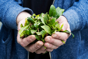 Close up of person holding small heap of freshly harvested green tea leaves.の写真素材 [FYI02265556]