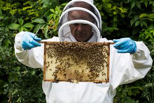 Beekeeper wearing protective suit at work, inspecting wooden beehive.の写真素材 [FYI02265557]