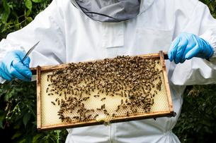 Beekeeper wearing protective suit at work, inspecting wooden beehive.の写真素材 [FYI02265559]