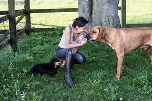 Woman kneeling in a paddock, giving treats to two dogs, a Rhodesian Ridgeback and Dachshund.の写真素材 [FYI02265565]