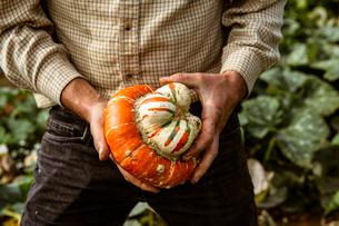 Close up of farmer holding Turkish Turban pumpkin.の写真素材 [FYI02265571]
