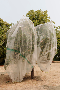 Protective mesh fabric covering apple trees bearing young fruit in summer in a commercial orchard. Pの写真素材 [FYI02265596]