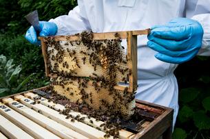 Beekeeper wearing protective suit at work, inspecting wooden beehive.の写真素材 [FYI02265644]