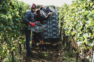 Two men standing in a vineyard, harvesting bunches of black grapes, stacking grey plastic crates.の写真素材 [FYI02265650]