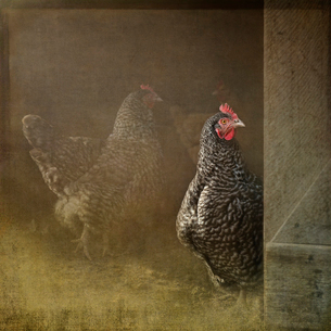 Composite image of a Plymouth Rock hen gazing out from a hen houseの写真素材 [FYI02265668]