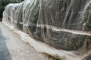 Protective mesh fabric covering apple trees bearing young fruit in summer in a commercial orchard. Pの写真素材 [FYI02265683]