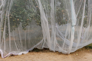 Protective mesh fabric covering apple trees bearing young fruit in summer in a commercial orchard. Pの写真素材 [FYI02265697]
