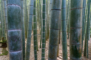 Close up of bamboo plants, Bamboo forest, Japan.の写真素材 [FYI02265734]
