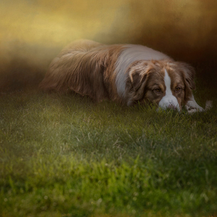 Composite image of an Australian shepherd dog lying comfortably in the green grass as the sun sets bの写真素材 [FYI02265751]