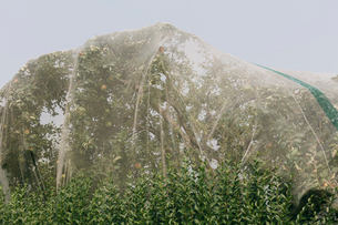 Protective mesh fabric covering apple trees bearing young fruit in summer in a commercial orchard. Pの写真素材 [FYI02265762]