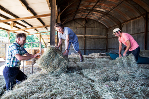 Three farmers stacking hay bales in a barn.の写真素材 [FYI02265765]