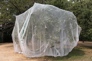 Protective mesh fabric covering apple trees bearing young fruit in summer in a commercial orchard. Pの写真素材 [FYI02265791]