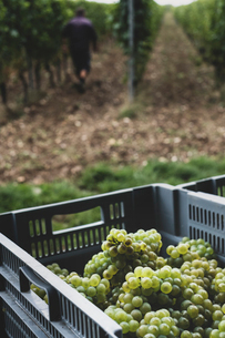 Close up of stack of grey plastic crated with freshly picked green grapes at a vineyard.の写真素材 [FYI02265814]