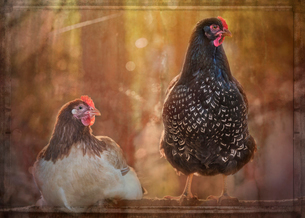 Composite portrait of two hens roosting at sunsetの写真素材 [FYI02265827]