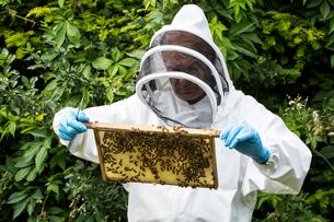 Beekeeper wearing protective suit at work, inspecting wooden beehive.の写真素材 [FYI02265862]