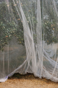 Protective mesh fabric covering apple trees bearing young fruit in summer in a commercial orchard. Pの写真素材 [FYI02265864]