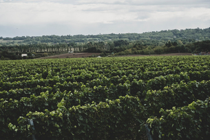 View along rows of vines on a vineyard under a cloudy sky.の写真素材 [FYI02265883]