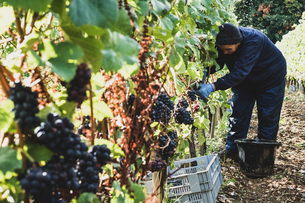 Woman bending in a vineyard, harvesting bunches of black grapes.の写真素材 [FYI02265943]