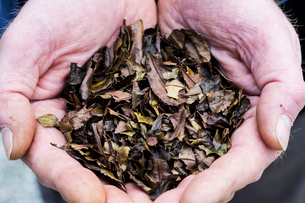High angle close up of person holding small heap of dried brown tea leaves.の写真素材 [FYI02265956]