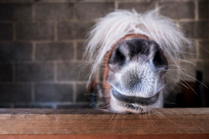 Close up of a Shetland pony's muzzle on the top of a stable door, with a white mane over it's eyes.の写真素材 [FYI02265967]