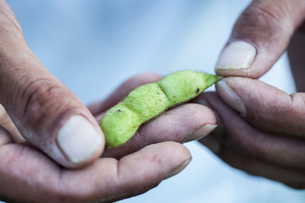 High angle close up of farmer holding Edamame beans in his palm.の写真素材 [FYI02265986]