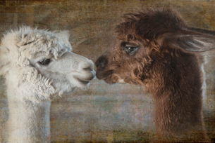 Composite image of two alpacas nose to noseの写真素材 [FYI02265995]
