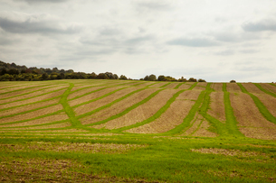 Farmland landscape in August, a rolling landscape with green and brown fields, green crop growing inの写真素材 [FYI02266066]