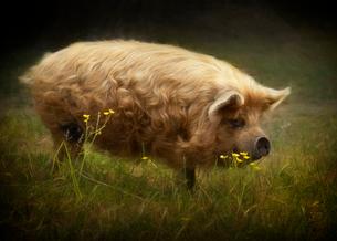 Kunekune pig with golden locks strolls through pastureの写真素材 [FYI02266082]