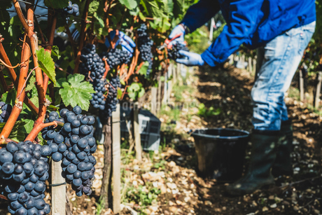 Man standing in a vineyard, harvesting bunches of black grapes.の写真素材 [FYI02266086]