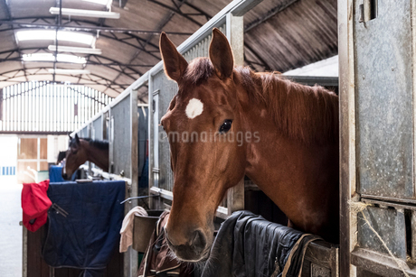 Brown bay horse looking out of its box at a stable.の写真素材 [FYI02266098]