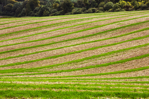 Farmland landscape in August, a rolling landscape with green and brown fields, green crop growing inの写真素材 [FYI02266101]