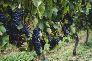 Close up of vines with bunches of ripe black grapes at a vineyard.の写真素材 [FYI02266113]