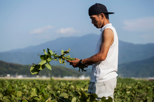 Japanese farmer wearing black cap standing in a field, holding soy bean plants.の写真素材 [FYI02266147]