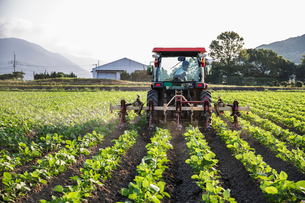 Japanese farmer driving red tractor through a field of soy bean plants.の写真素材 [FYI02266161]