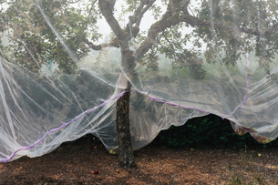 Protective mesh fabric covering apple trees bearing young fruit in summer in a commercial orchard. Pの写真素材 [FYI02266167]