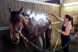 Young woman standing in stable, hosing down a bay brown horse with a water hose.の写真素材 [FYI02266185]