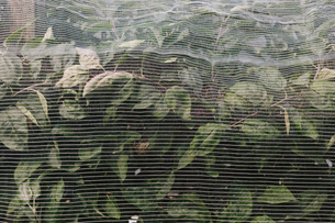 Protective mesh fabric covering apple trees bearing young fruit in summer in a commercial orchard. Pの写真素材 [FYI02266195]