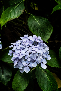 Close up of a lilac coloured hydrangea flower with glossy leaves.の写真素材 [FYI02266221]
