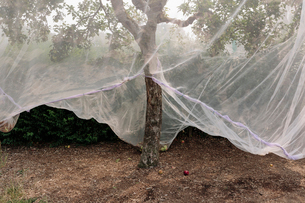 Protective mesh fabric covering apple trees bearing young fruit in summer in a commercial orchard. Pの写真素材 [FYI02266243]
