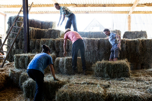 Farmers stacking hay bales in a barn.の写真素材 [FYI02266250]