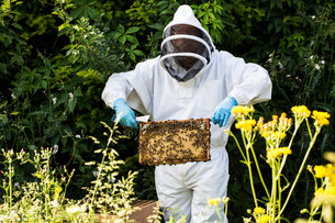 Beekeeper wearing protective suit at work, inspecting wooden beehive.の写真素材 [FYI02266297]