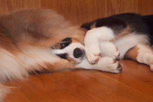 Closeup of a young Australian Shephard tangled up in the paws of his brother.の写真素材 [FYI02266305]