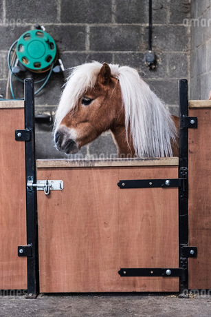 A Shetland pony with a long blonde mane in its box at a stable.の写真素材 [FYI02266326]
