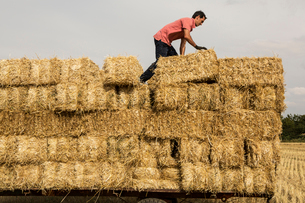 Farmer baling straw, standing on trailer on top of stack of straw bales.の写真素材 [FYI02266337]